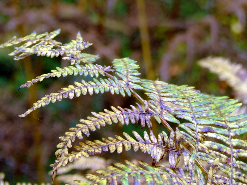 Fern in Earthan Woods