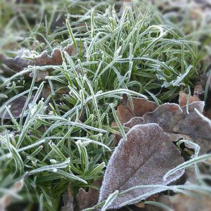 Frosty leaves..