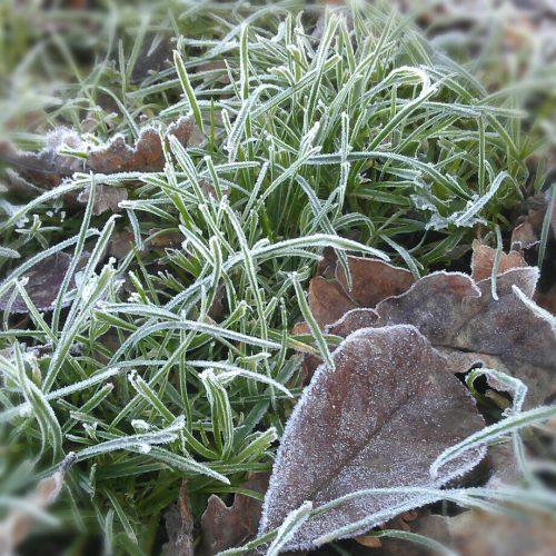Frosty leaves..