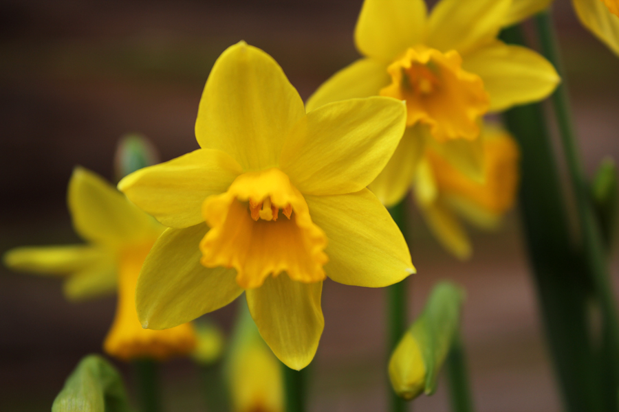 Daffy Down Dilly - Wordless Wednesday