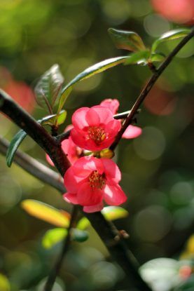 Blossom at Bosham