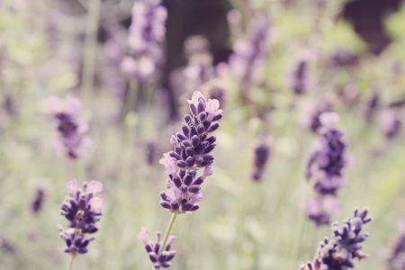 Lavender: July 2011